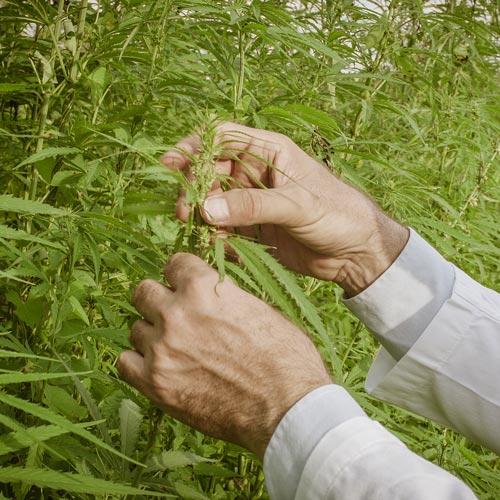 Artikel: Fakta om cannabis – hvad er hvad?